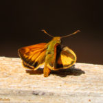 Photo of Zabulon Skipper
