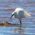 photo of Snowy Egret eating worm