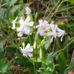 photo of soapwort