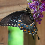 Photo of Spicebush Swallowtail in Buddleia