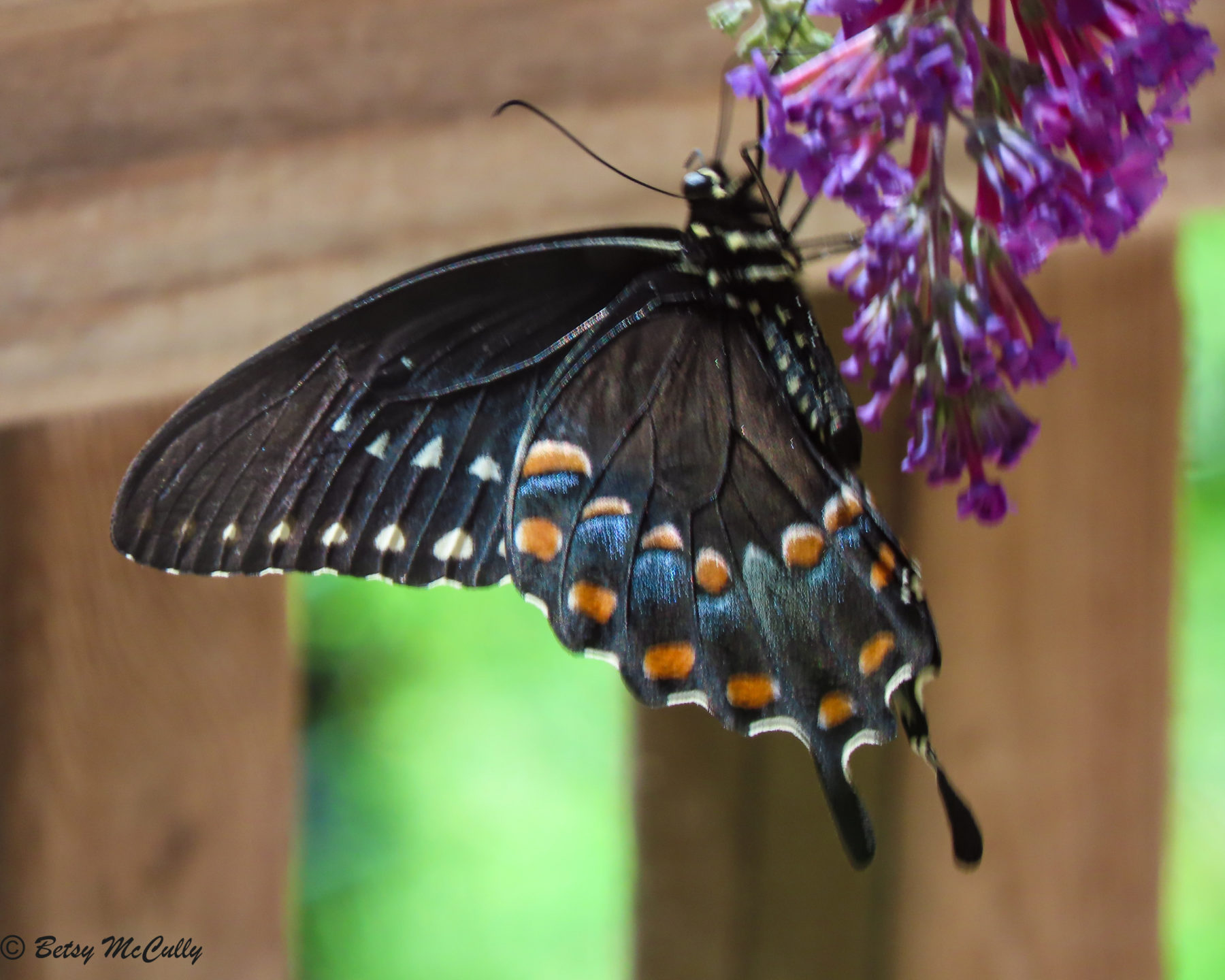 Photo of Spicebush Swallowtail in Buddleia