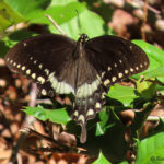 Photo of Spicebush Swallowtail sunning
