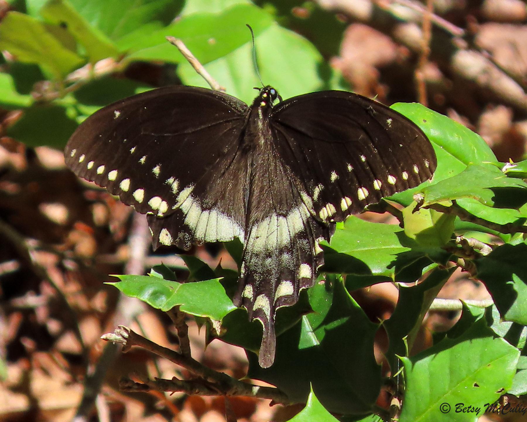 Photo of Spicebush Swallowtail sunning