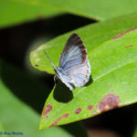 Photo of Spring Azure on leaf