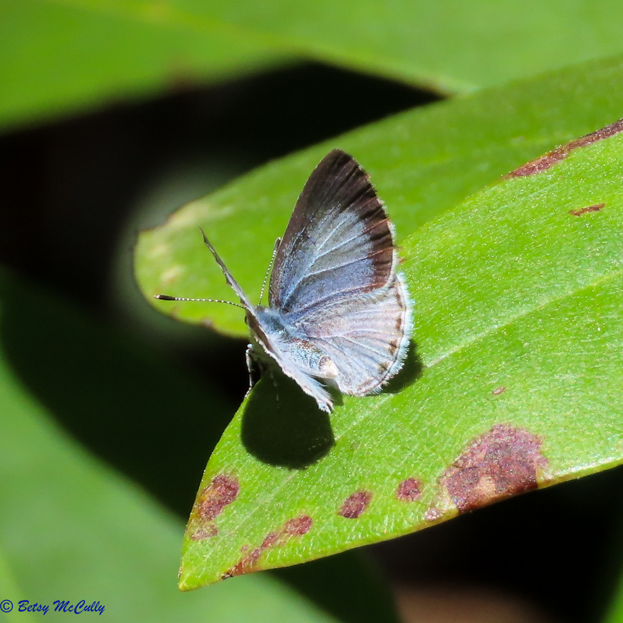 Photo of Cherry Gall Azure on leaf