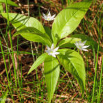 Photo of Starflower
