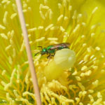 Photo of sweat bee in prickly pear flower