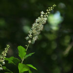 Photo of Sweet Pepperbush