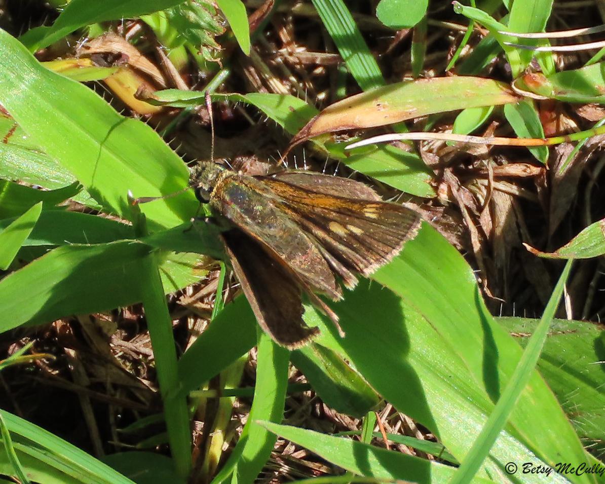 Photo of Tawny-edged Skipper on leaf