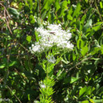 Photo of Hyssop-leaved Boneset