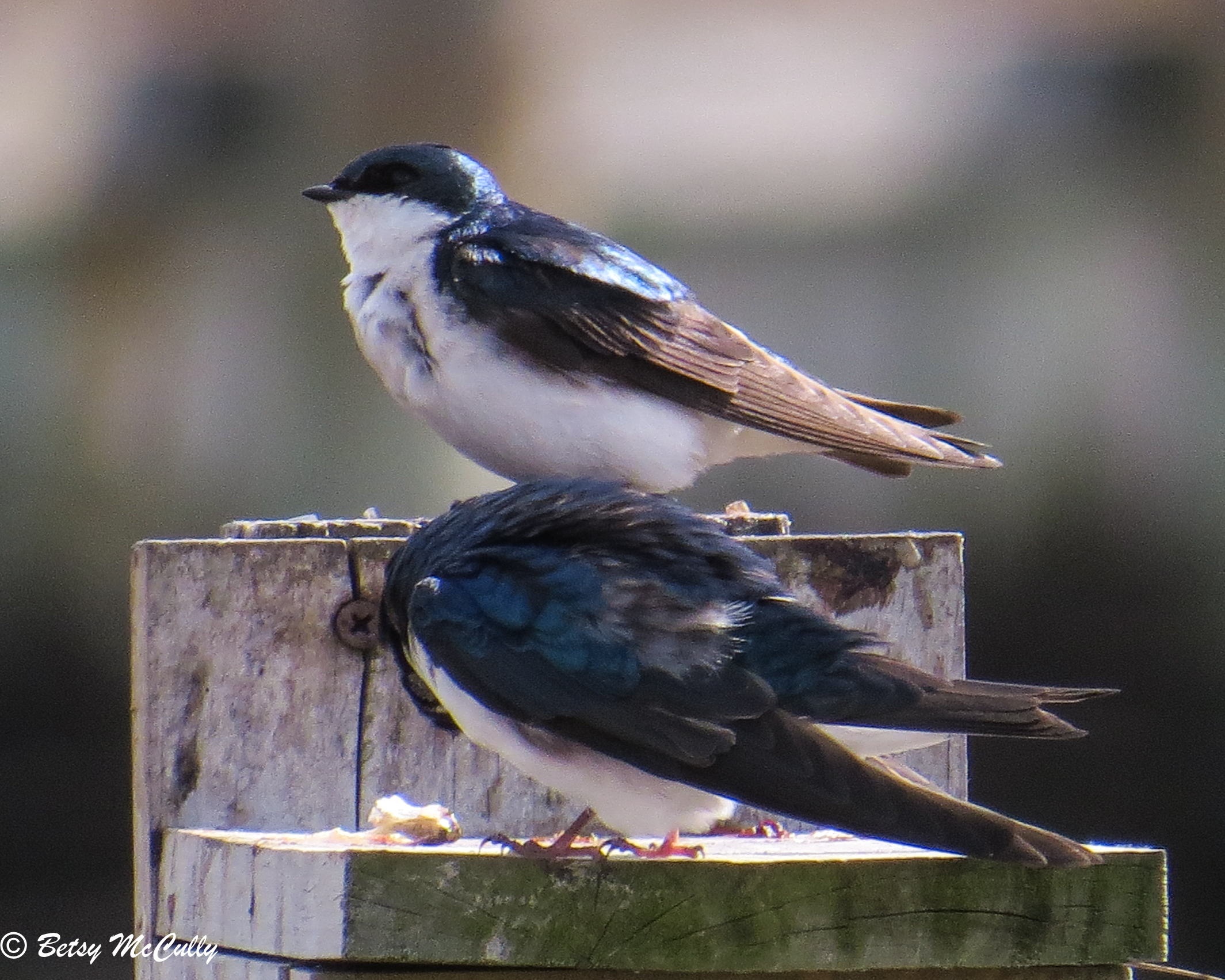 photo of Tree Swallows