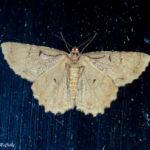 Photo of Tulip Tree Beauty Moth ventral view