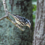 Photo of Black-and-white Warbler