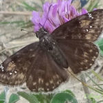 Wild Indigo Duskywing in red clover