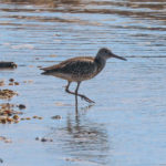 Photo of Willet