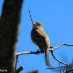Photo of Willow Flycatcher