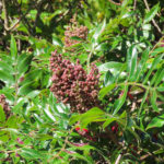 Photo of Winged Sumac fruiting