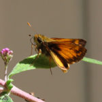 Photo of Zabulon Skipper on leaf