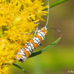 Photo of Ailanthus Webworm Moth