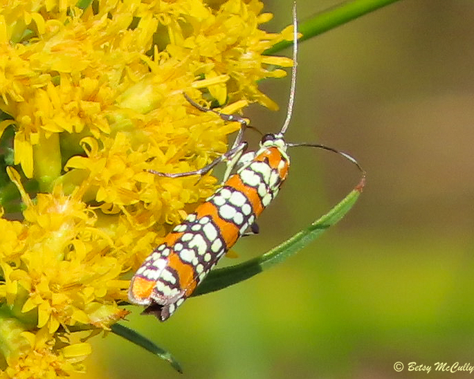 Photo of Ailanthus Webworm Moth