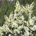 Photo of flowering Beach Plum