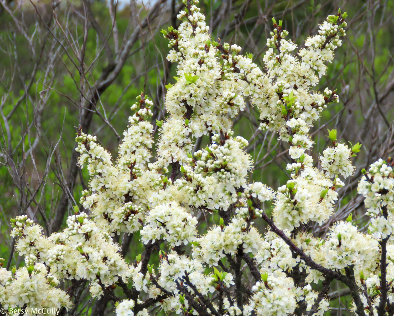 Photo of flowering Beach Plum