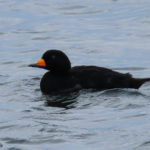 Photo of Black Scoter male