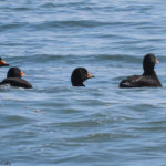 Photo of four Black Scoter males