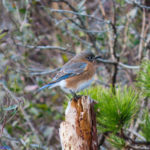 photo of bluebird female