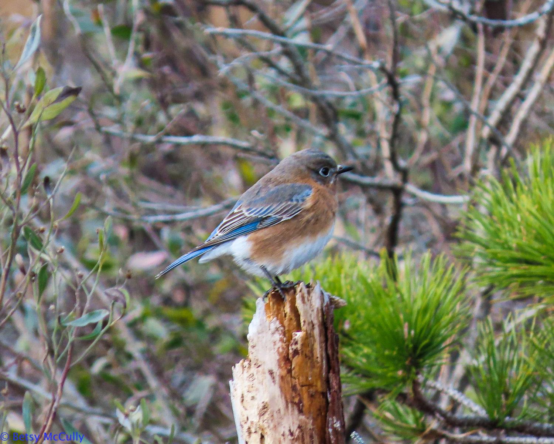 photo of bluebird female