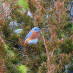 photo of bluebird male