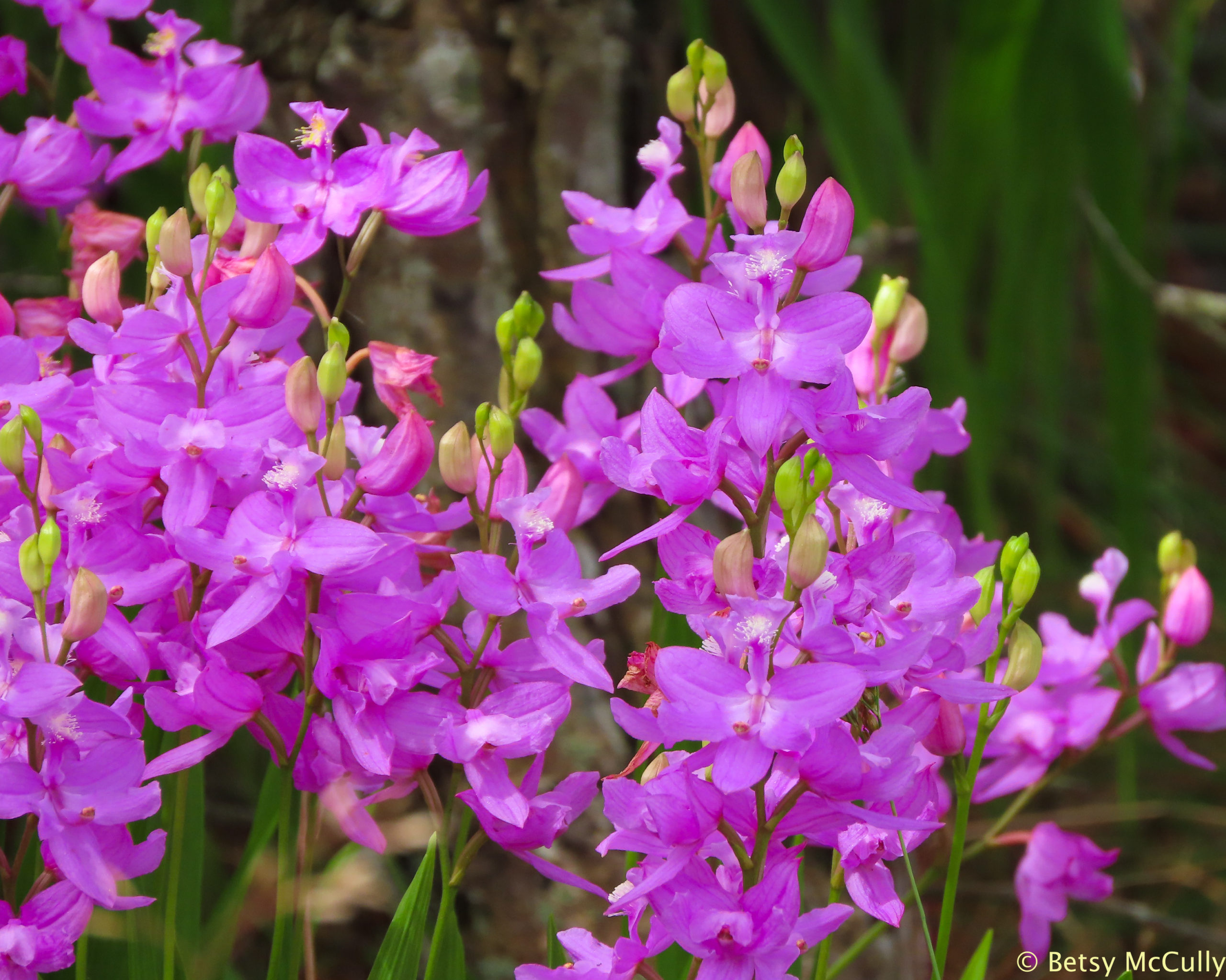 photo of Grass-pink