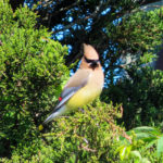 Photo of Cedar Waxwing