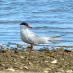 Photo of Common Tern