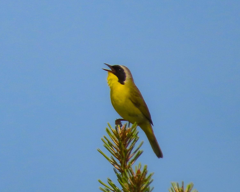 Photo of Common Yellowthroat