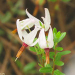 Photo of cranberry flowers