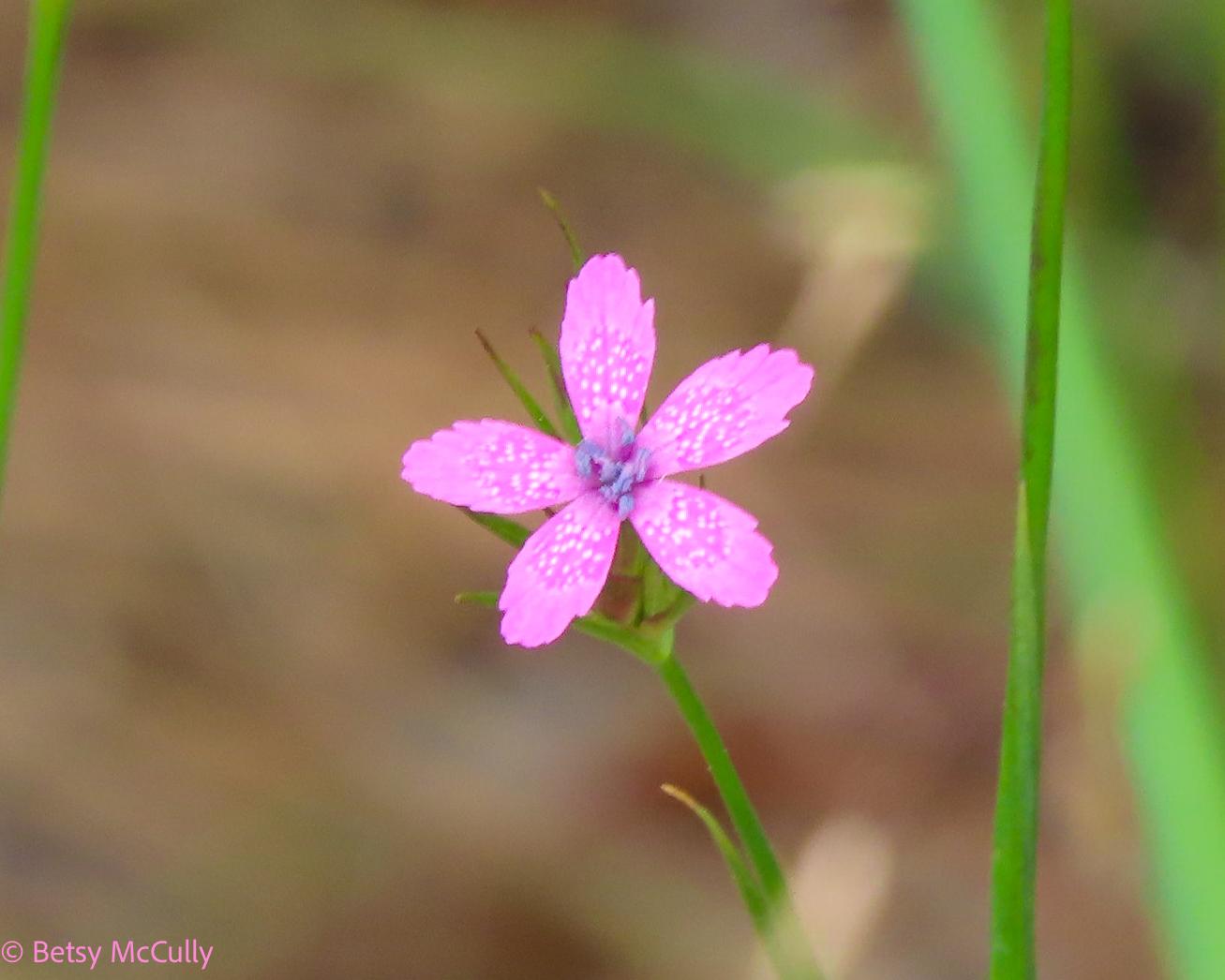 Photo of Deptford Pink