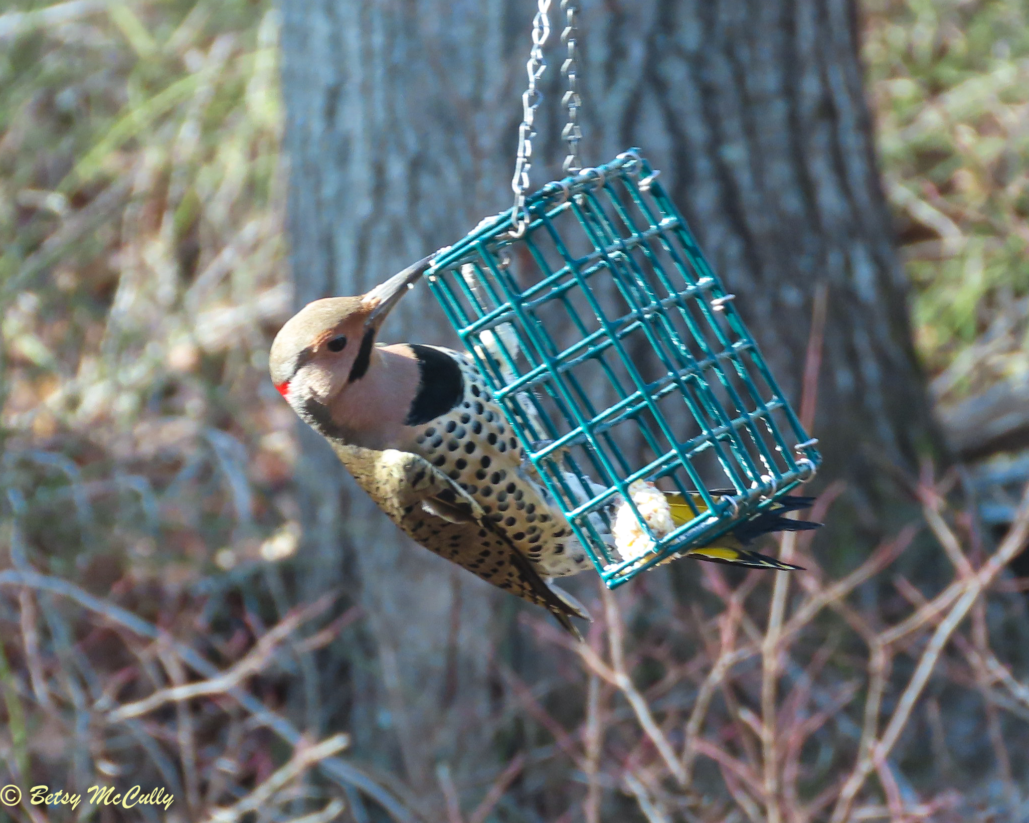 Photo of Northern Flicker