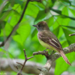 Photo of Great Crested Flycatcher