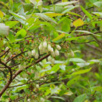 Photo of High-bush Blueberry