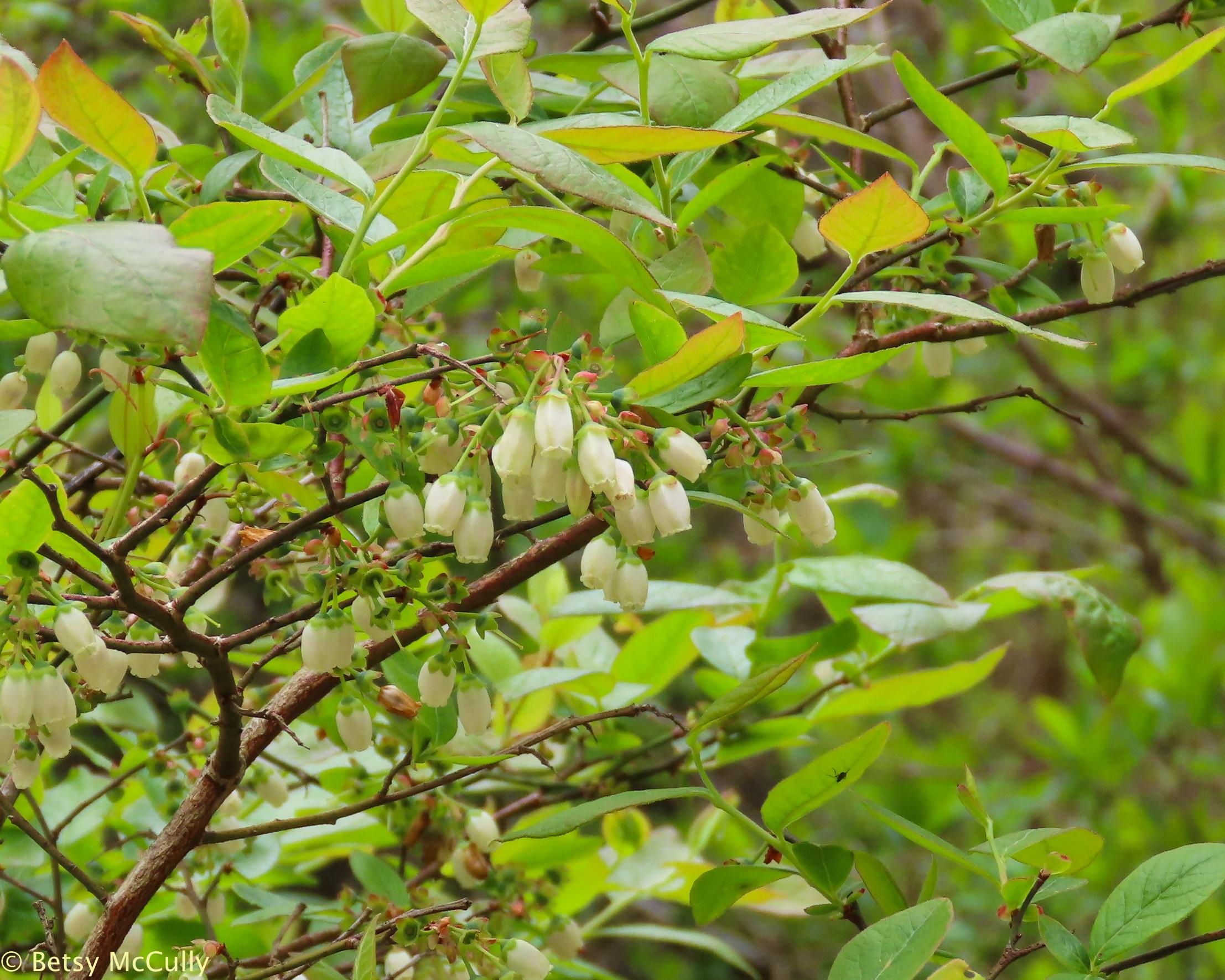 Photo of High-bush Blueberry