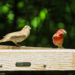 Photo of House Finches
