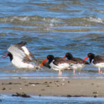 photo of American Oystercatchers