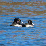Photo of Ring-necked Ducks