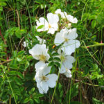 Photo of white Rosa virginiana