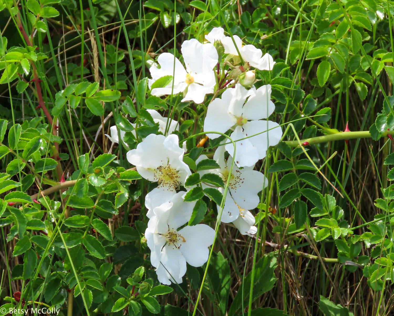 Photo of white Rosa virginiana