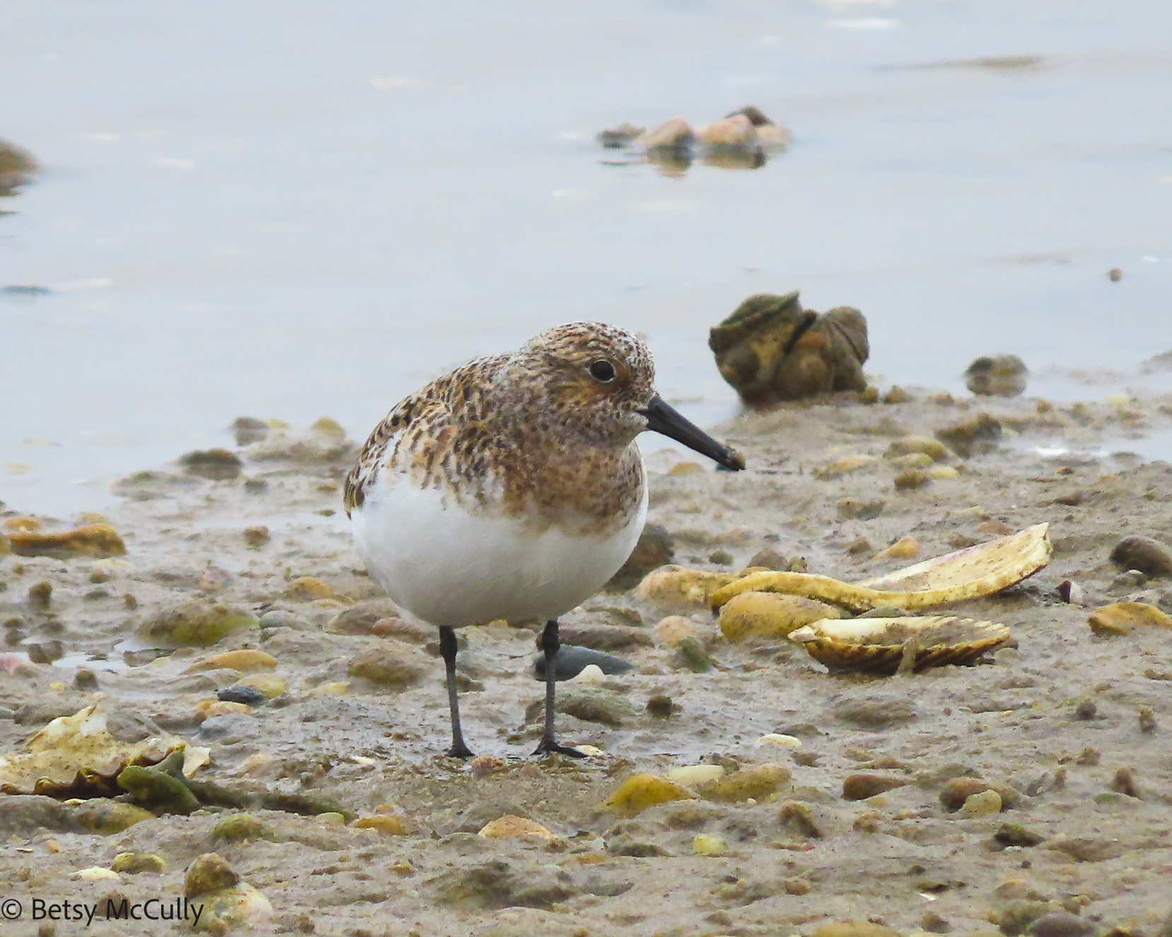 Photo of Sanderling