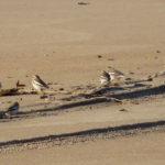 Photo of Flock of Snow Buntings