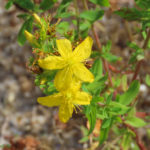 Photo of Common St. John's Wort