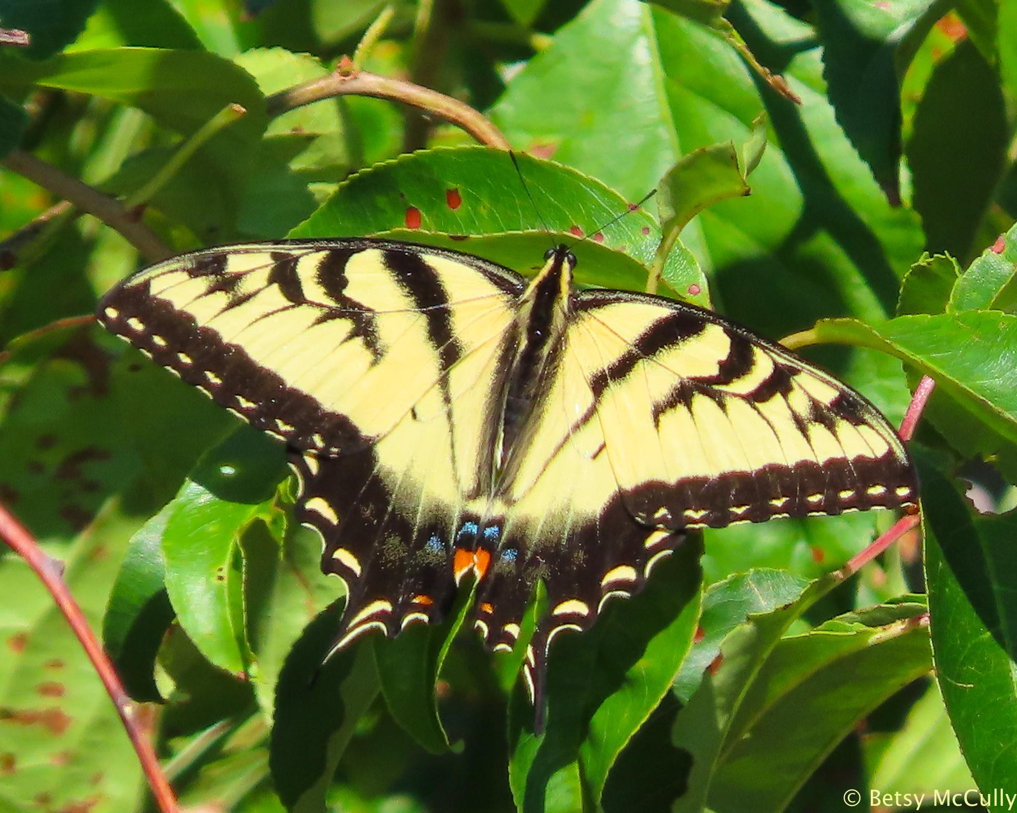 Photo of Tiger Swallowtail